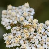 Skinnbaggar Myrmus miriformes II 170816