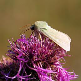 Grönt hedmarksfly på väddklint