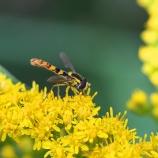 Blomfluga på gullris XI