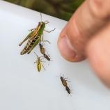 Gräshoppa och skinnbaggar sp I 170830