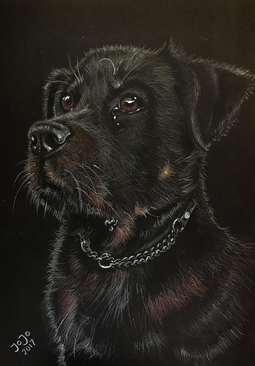 Rottweilern Hugo, vit krita på svart kartong