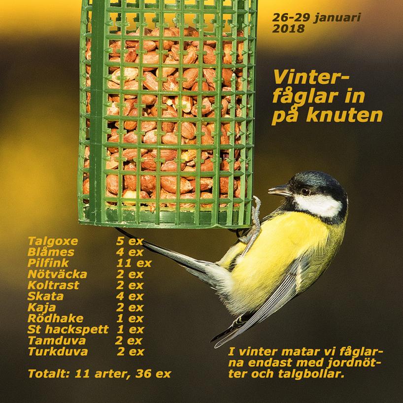 """Utöver ovan nämnda fågelarter observerade vi även en ljusgul kanariefågel - en burrymling, som satt vid matplatsen under en dryg kvart! Strax före helgen sågs även två entitor och två gråsiskor - den sistnämnda är en s k """"invasionsart"""" i vinter! Barmark, 5-7 plusgrader, både sol och mulet med stundtals regn och hård vind."""