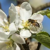 Blomfluga och äppelblom II 180510 kopia