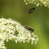 Blomflugor sp II 180609 kopia