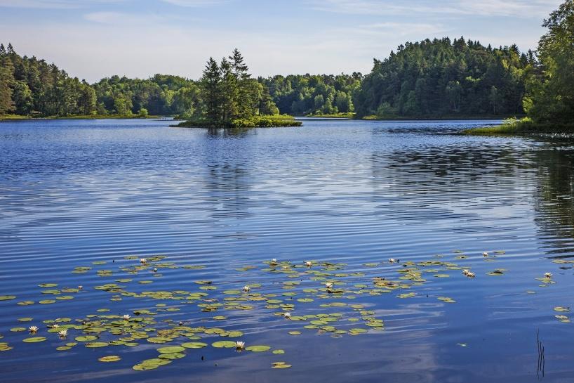 2018-06-09: Gårdsjön med vita näckrosor.