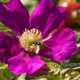 Blomfluga i vildros I 180815 kopia