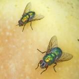 Guldflugor II 180909 kopia