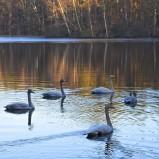 Sångsvanar i flock IB190227 kopia