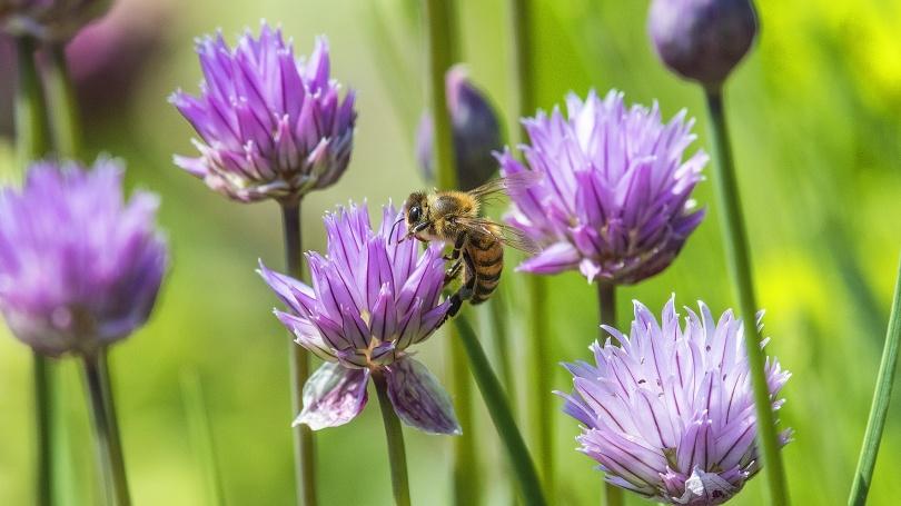 Honungsbi på vanlig gräslök