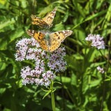 Tistelfjärilar & gulröda blombockar II 190609 kopia