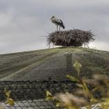Stork på bo I 191004 kopia