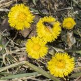 Tussilago med blomfluga I 200324 kopia