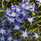 Vårstjärna, blå&vit I 200406