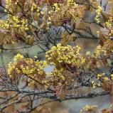 Lönn, blommande I 200501 kopia