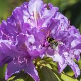 Jordhumla sp & rhododendron I 200601 kopia