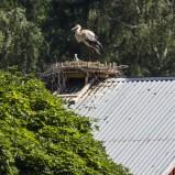 Vit stork på bo I 200624