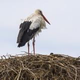 Vit stork I 200822 kopia