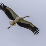 Vit stork, flygande I 200822 kopia