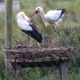 Vit stork, på bo I 200822 kopia