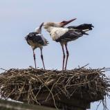 Vit stork, på bo II 200822 kopia