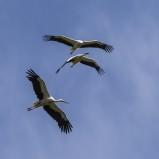 Vit stork, flygande III 200822 kopia