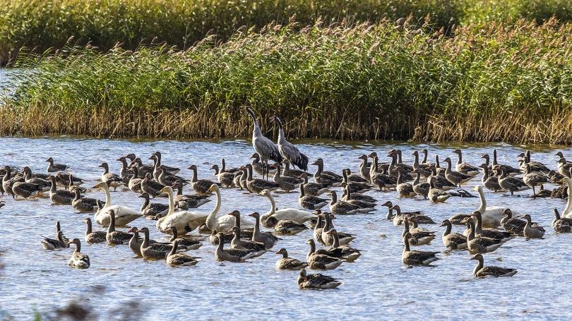Gäss, svanar och tranor vid nordvästra Finjasjön 2020-09-05