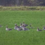 Grågås, flock I 201111 kopia