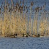 Gräsand, flock II 201223 kopia