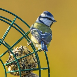 Fåglar i vår trädgård