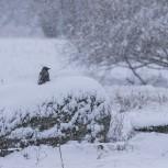 Kråka i snö I 210113