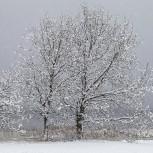 Träd i snö II 210113