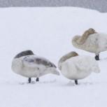 Sångsvan i snö III 210113