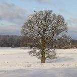 Fjällvråk & träd I 210114 kopia