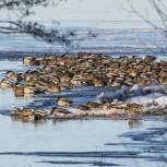 Gräsand, flock i isvak I 210116 kopia