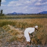 Jordbrukare, Korea I 1953 kopia