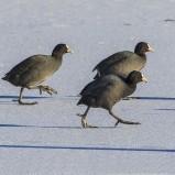 Sothöna på is II Magle våtmark 210213 kopia