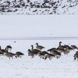 Grågås på snöigt fält I 210219 kopia