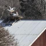 Vit stork på bo I 210406 kopia