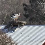 Vit stork på bo VI 210406 kopia