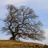 Träd, gammalt II 210416 kopia