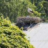 Vit stork på bo, två ungar I 210603 kopia