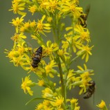 Slamblomflugor på gullris I 210802 kopia