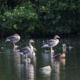 Grågås, flock I 210823 kopia