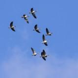 Grågås i flock I 210907 kopia