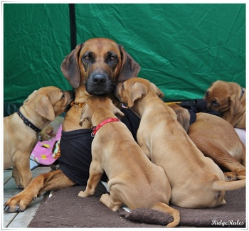 Lolita with her first litter of puppies 2013