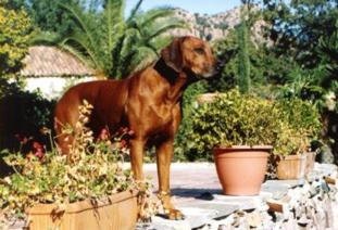 Photo Shangani Ridgebacks