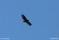 Ung havsörn fågel rovfågel