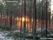 Produktionsskog tall, solnedgång