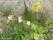 Styvmorsviol (Viola tricolor) och Gullviva (Primula veris)