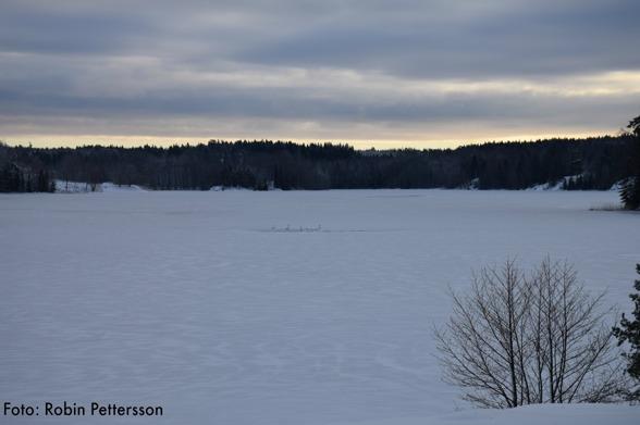 Några stackars sångsvanar har det tufft i kylan. Inget öppet vatten vad vi kunde se. Vi slängde ut bröd på isen som de kan äta av.